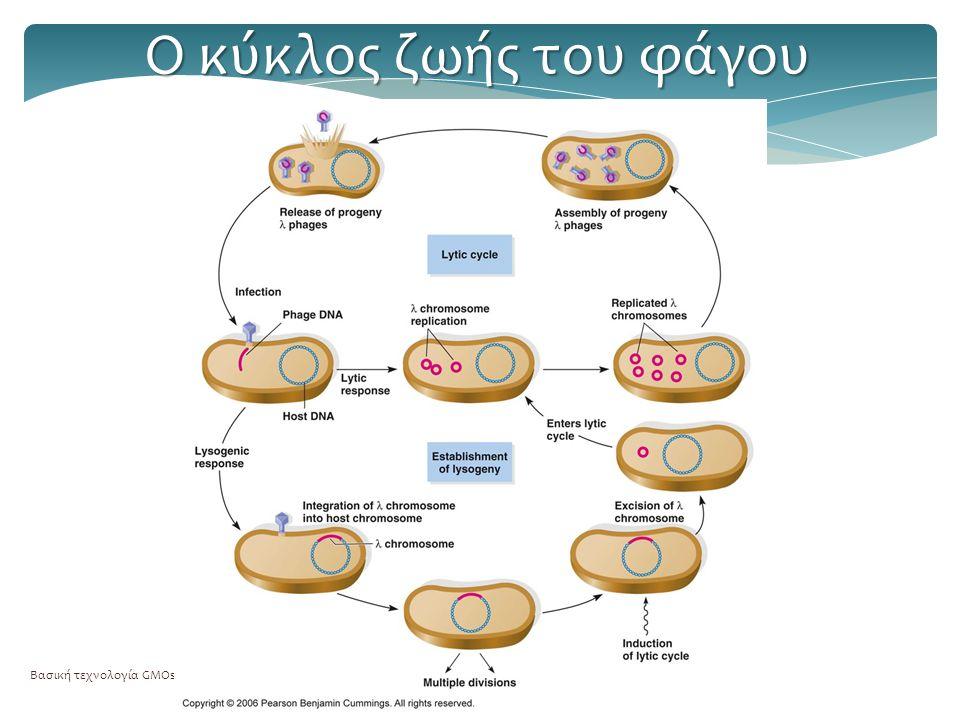 Βασική τεχνολογία GMOs35 Ο κύκλος ζωής του φάγου
