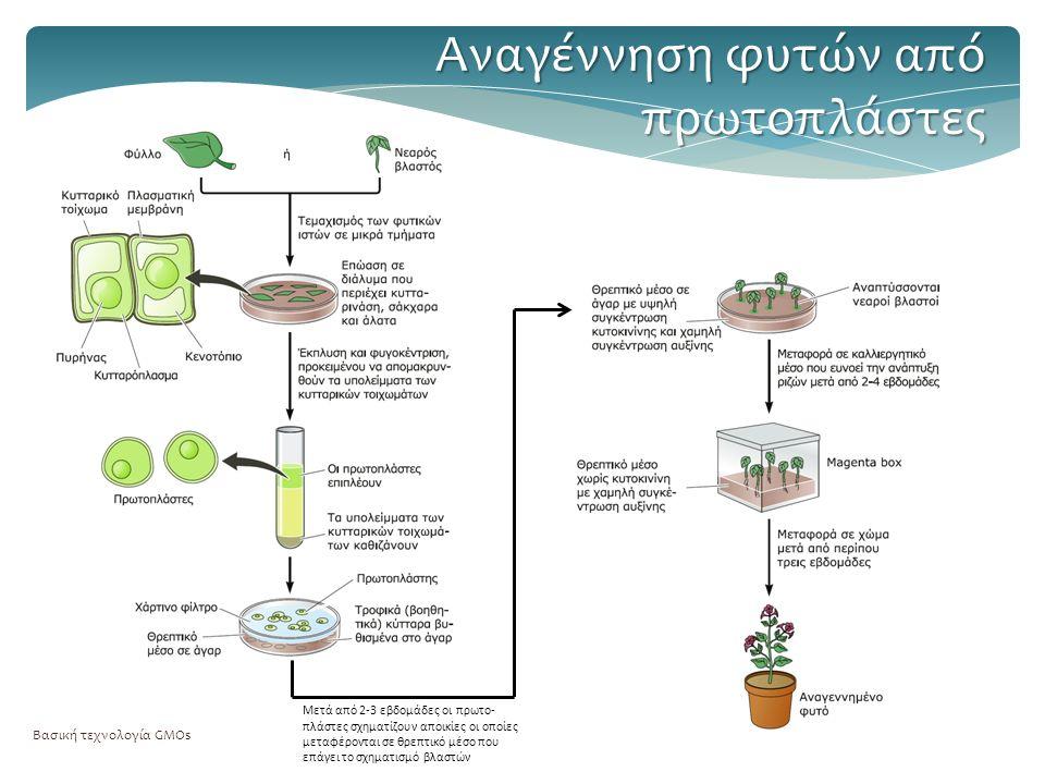 Βασική τεχνολογία GMOs Αναγέννηση φυτών από πρωτοπλάστες Μετά από 2-3 εβδομάδες οι πρωτο- πλάστες σχηματίζουν αποικίες οι οποίες μεταφέρονται σε θρεπτικό μέσο που επάγει το σχηματισμό βλαστών