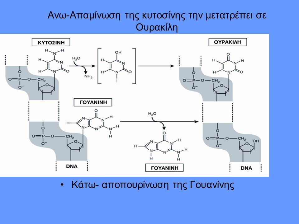 Ανω-Απαμίνωση της κυτοσίνης την μετατρέπει σε Ουρακίλη Κάτω- αποπουρίνωση της Γουανίνης