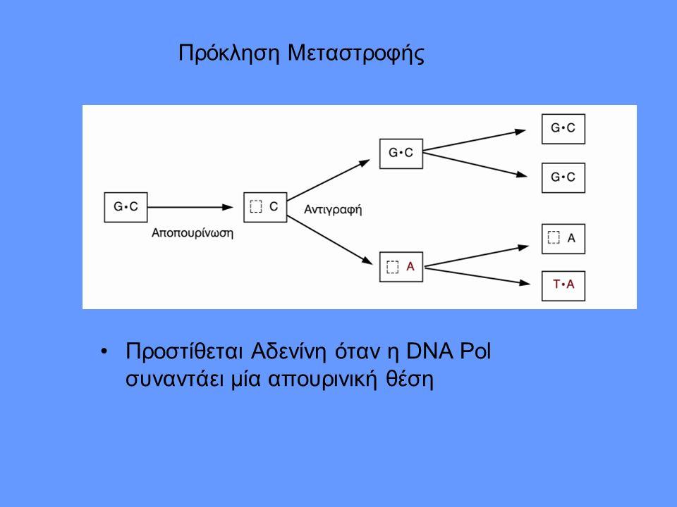Πρόκληση Μεταστροφής Προστίθεται Αδενίνη όταν η DNA Pol συναντάει μία απουρινική θέση