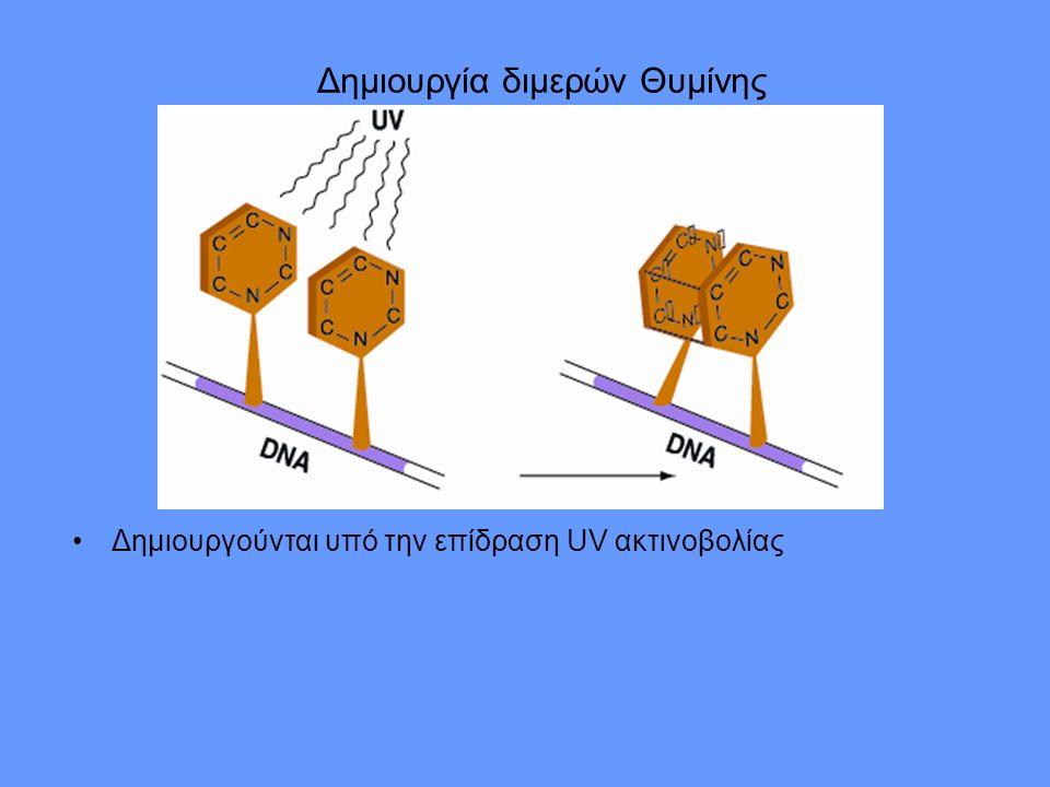 Δημιουργία διμερών Θυμίνης Δημιουργούνται υπό την επίδραση UV ακτινοβολίας