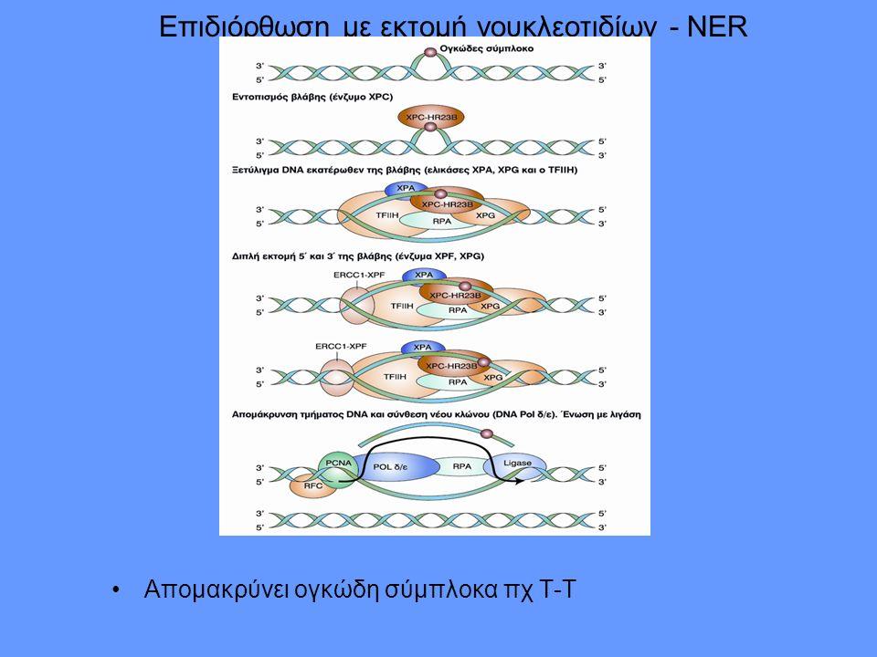 Επιδιόρθωση με εκτομή νουκλεοτιδίων - NER Απομακρύνει ογκώδη σύμπλοκα πχ Τ-Τ