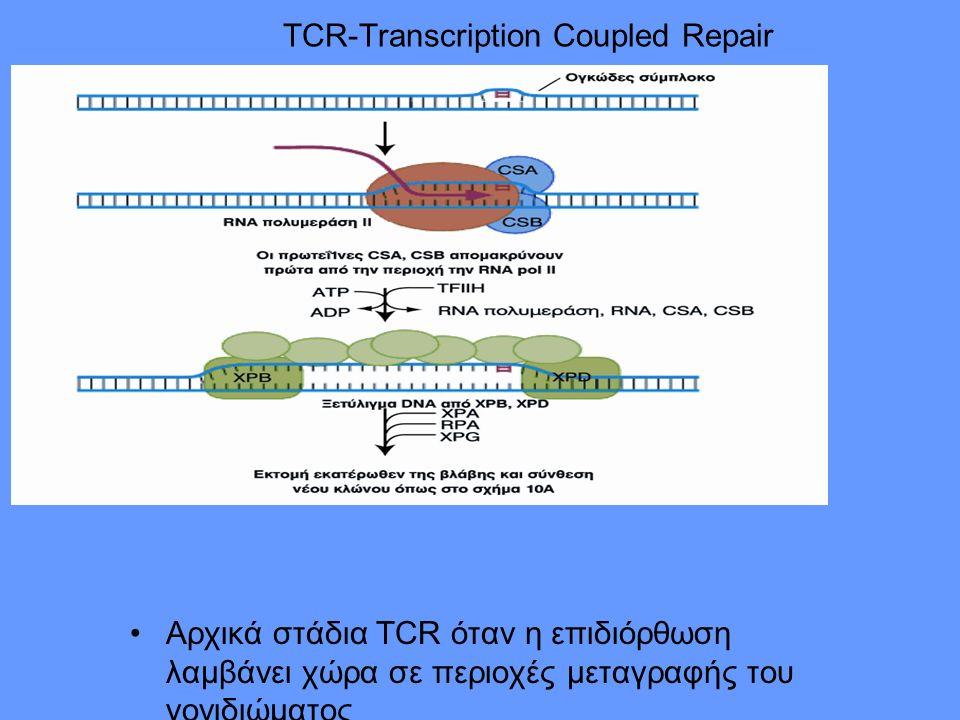 TCR-Transcription Coupled Repair Αρχικά στάδια TCR όταν η επιδιόρθωση λαμβάνει χώρα σε περιοχές μεταγραφής του γονιδιώματος