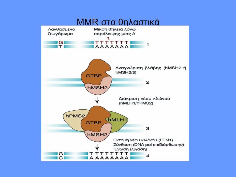 MMR στα θηλαστικά