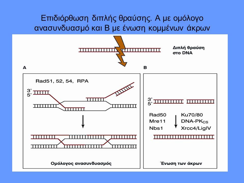Επιδιόρθωση διπλής θραύσης. Α με ομόλογο ανασυνδυασμό και Β με ένωση κομμένων άκρων