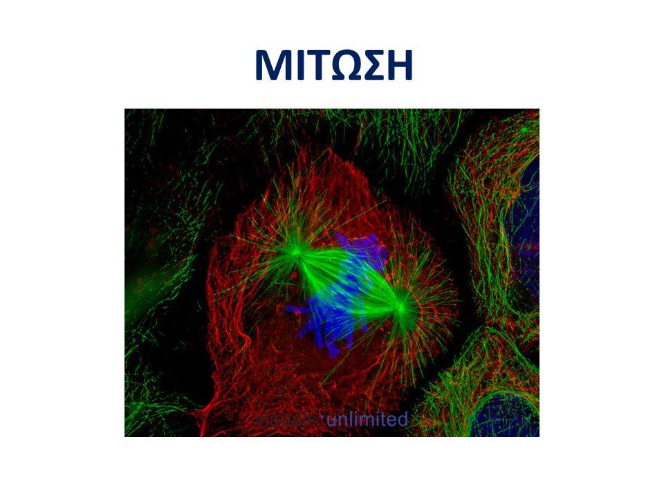 Προμετάφαση Αδελφές χρωματίδες προς αντίθετους πόλους Εξισορρόπηση μήκους μικροσωληνίσκων S20