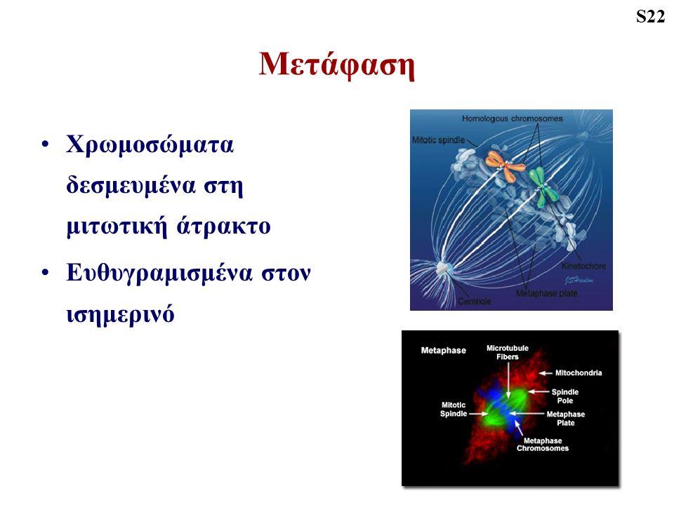 Μετάφαση Χρωμοσώματα δεσμευμένα στη μιτωτική άτρακτο Ευθυγραμισμένα στον ισημερινό S22