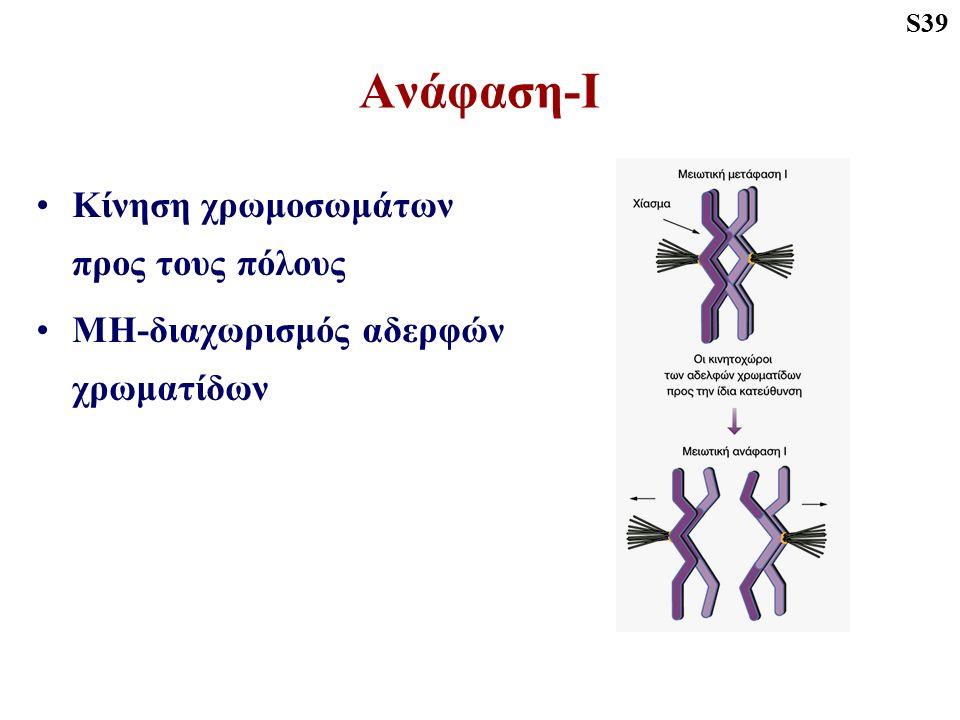 Ανάφαση-Ι Κίνηση χρωμοσωμάτων προς τους πόλους ΜΗ-διαχωρισμός αδερφών χρωματίδων S39