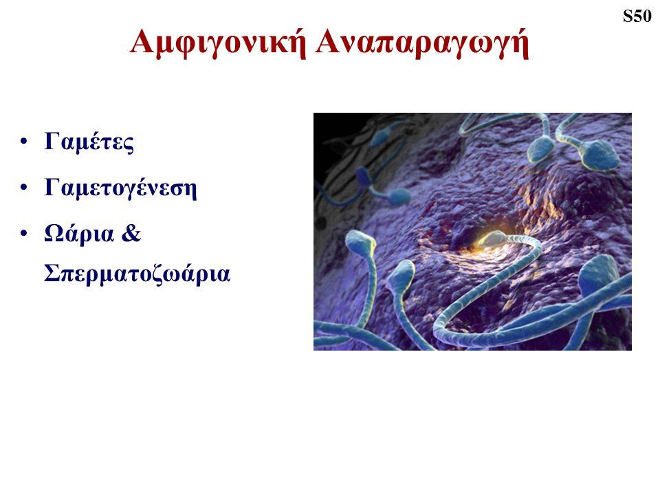 Αμφιγονική Αναπαραγωγή Γαμέτες Γαμετογένεση Ωάρια & Σπερματοζωάρια S50