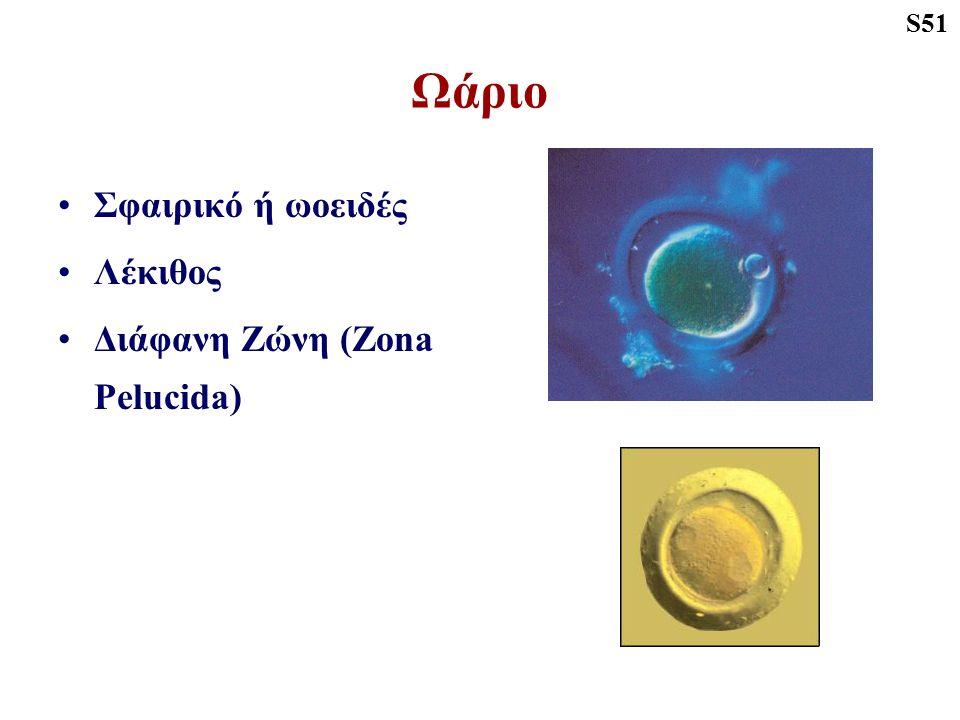 Ωάριο Σφαιρικό ή ωοειδές Λέκιθος Διάφανη Ζώνη (Zona Pelucida) S51
