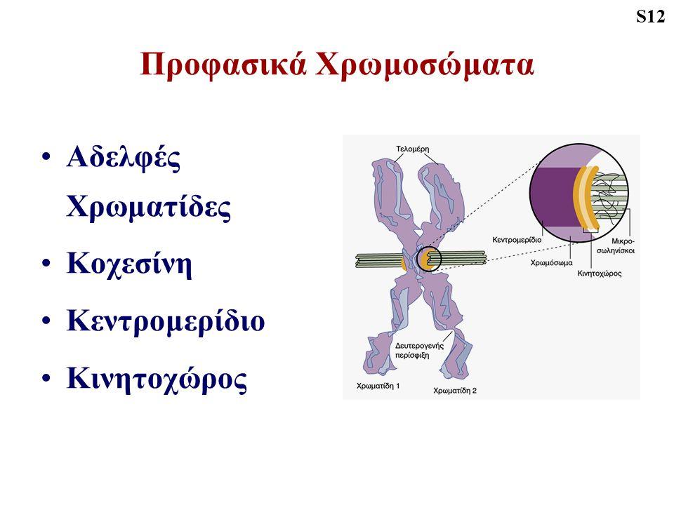 Προφασικά Χρωμοσώματα Αδελφές Χρωματίδες Κοχεσίνη Κεντρομερίδιο Κινητοχώρος S12