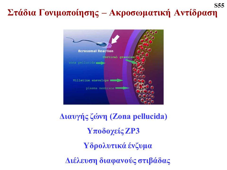 Στάδια Γονιμοποίησης – Ακροσωματική Αντίδραση Διαυγής ζώνη (Zona pellucida) Υποδοχείς ΖΡ3 Υδρολυτικά ένζυμα Διέλευση διαφανούς στιβάδας S55