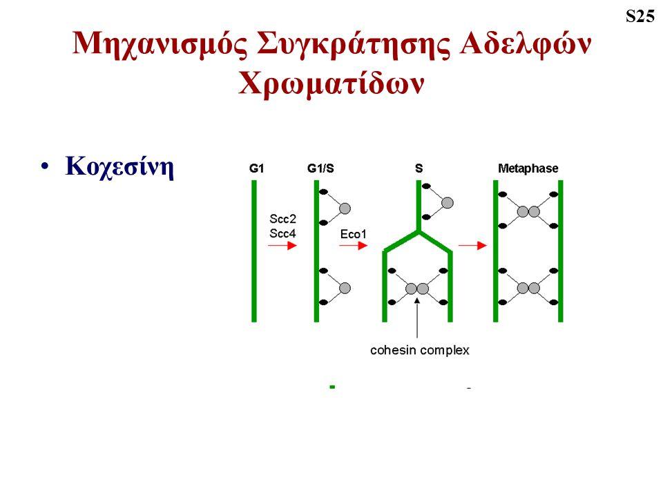 Τελόφαση Αποσυσπείρωση χρωμοσωμάτων Συγκρότηση πυρηνικής μεμβράνης Επανασχηματισμός ΕΔ και Golgi Εξαφάνιση μιτωτικής ατράκτου S28