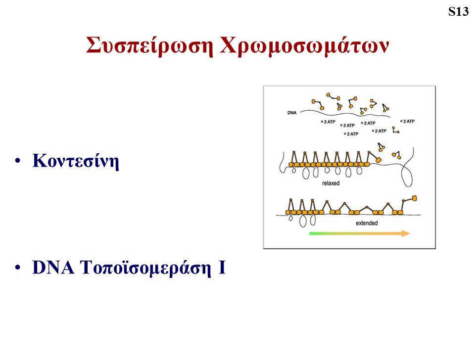 Συσπείρωση Χρωμοσωμάτων Κοντεσίνη DNA Τοποϊσομεράση Ι S13