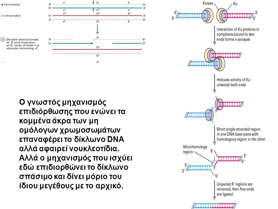 Ο γνωστός μηχανισμός επιδιόρθωσης που ενώνει τα κομμένα άκρα των μη ομόλογων χρωμοσωμάτων επαναφέρει το δίκλωνο DNA αλλά αφαιρεί νουκλεοτίδια.