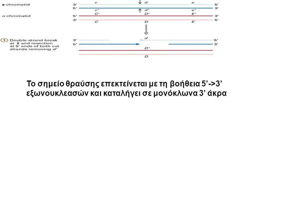 Το σημείο θραύσης επεκτείνεται με τη βοήθεια 5'->3' εξωνουκλεασών και καταλήγει σε μονόκλωνα 3' άκρα