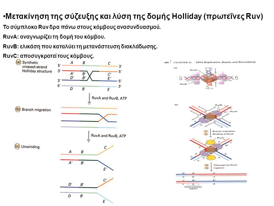 Μετακίνηση της σύζευξης και λύση της δομής Holliday (πρωτεΐνες Ruv) Το σύμπλοκο Ruv δρα πάνω στους κόμβους ανασυνδυασμού.