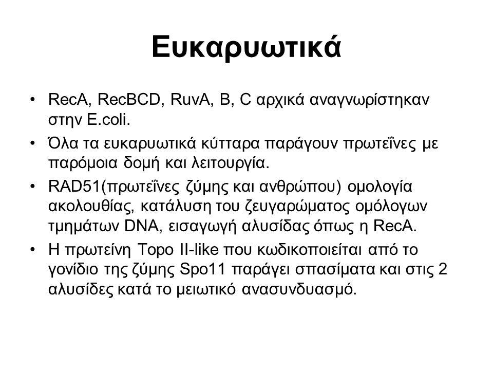 Ευκαρυωτικά RecA, RecBCD, RuvA, B, C αρχικά αναγνωρίστηκαν στην E.coli.