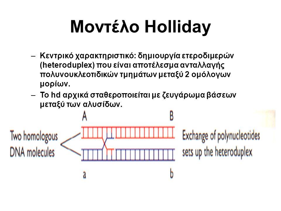 Μοντέλο Holliday –Κεντρικό χαρακτηριστικό: δημιουργία ετεροδιμερών (heteroduplex) που είναι αποτέλεσμα ανταλλαγής πολυνουκλεοτιδικών τμημάτων μεταξύ 2 ομόλογων μορίων.