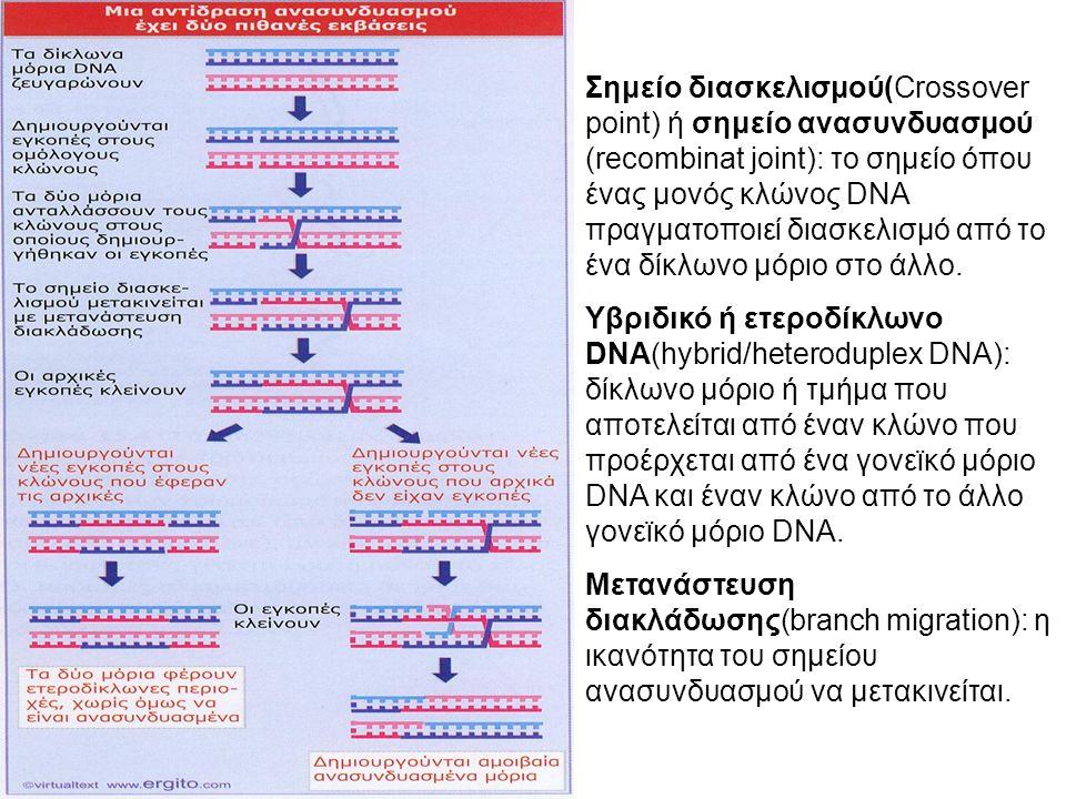 Σημείο διασκελισμού(Crossover point) ή σημείο ανασυνδυασμού (recombinat joint): το σημείο όπου ένας μονός κλώνος DNA πραγματοποιεί διασκελισμό από το ένα δίκλωνο μόριο στο άλλο.