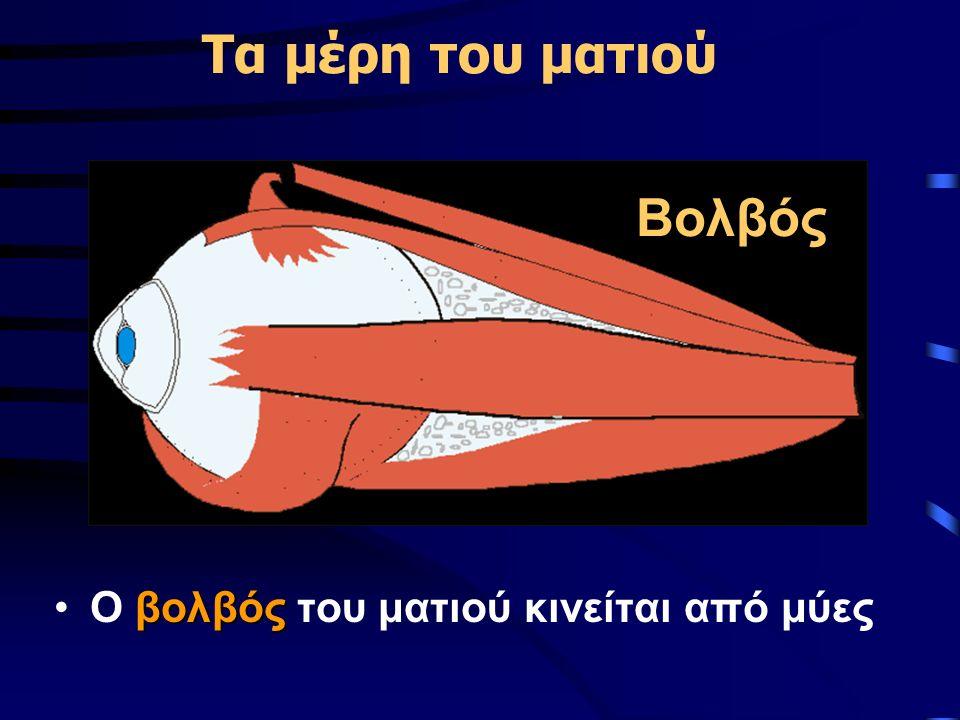 Τα μέρη του ματιού βολβόςΟ βολβός του ματιού κινείται από μύες Βολβός
