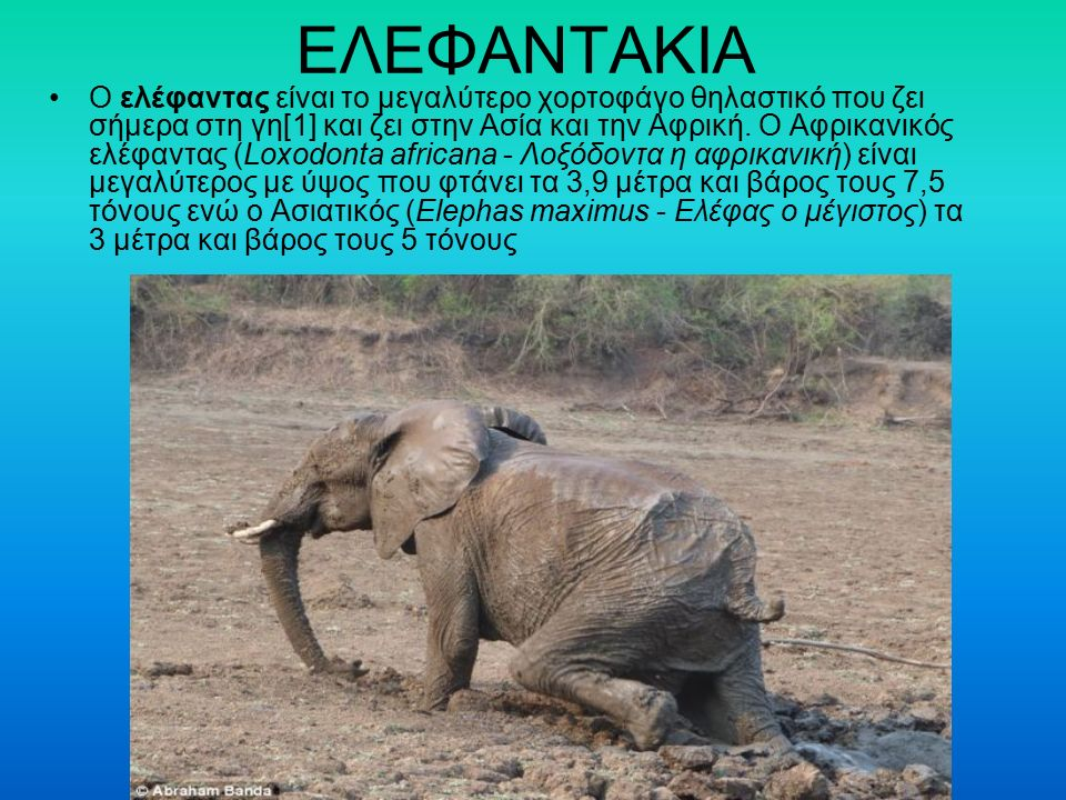 ΕΛΕΦΑΝΤΑΚΙΑ Ο ελέφαντας είναι το μεγαλύτερο χορτοφάγο θηλαστικό που ζει σήμερα στη γη[1] και ζει στην Ασία και την Αφρική. Ο Αφρικανικός ελέφαντας (Lo