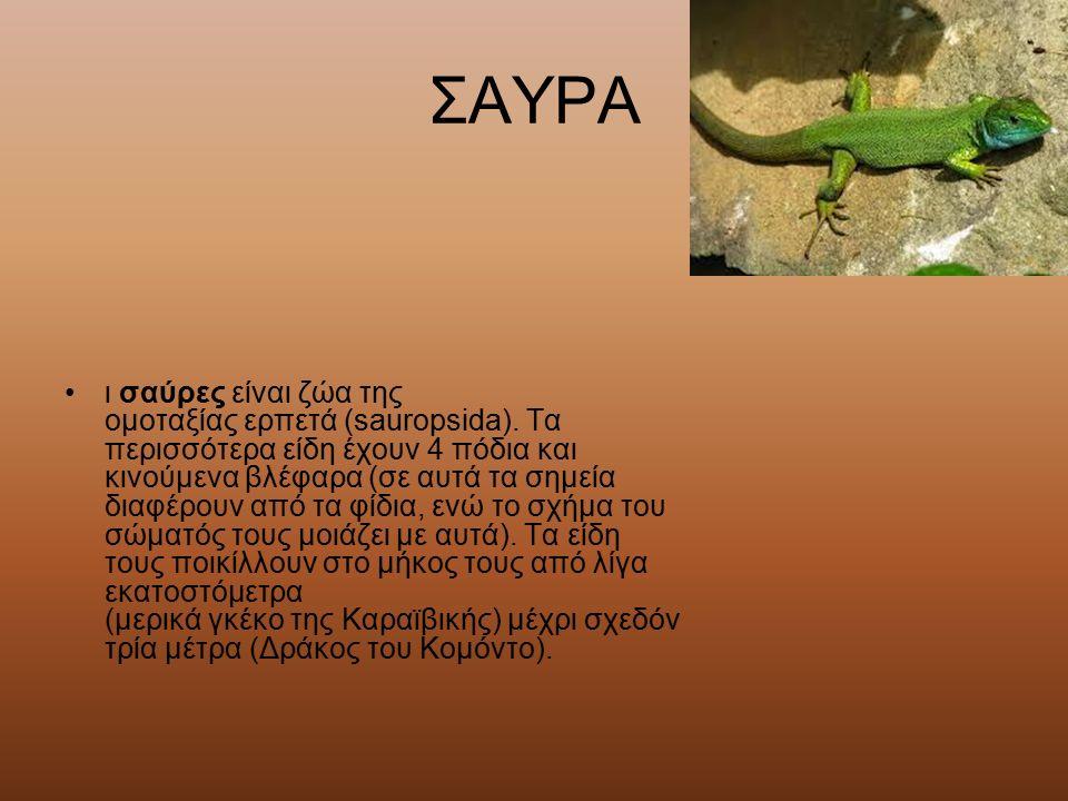 ΣΑΥΡΑ ι σαύρες είναι ζώα της ομοταξίας ερπετά (sauropsida). Τα περισσότερα είδη έχουν 4 πόδια και κινούμενα βλέφαρα (σε αυτά τα σημεία διαφέρουν από τ