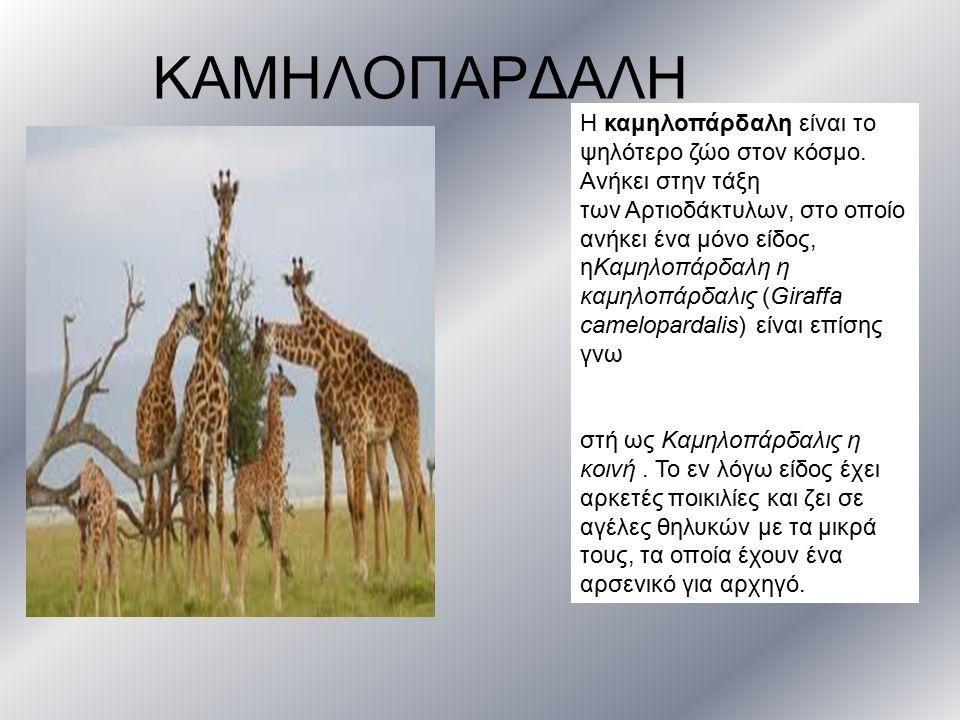ΚΑΜΗΛΟΠΑΡΔΑΛΗ Η καμηλοπάρδαλη είναι το ψηλότερο ζώο στον κόσμο. Ανήκει στην τάξη των Αρτιοδάκτυλων, στο οποίο ανήκει ένα μόνο είδος, ηΚαμηλοπάρδαλη η