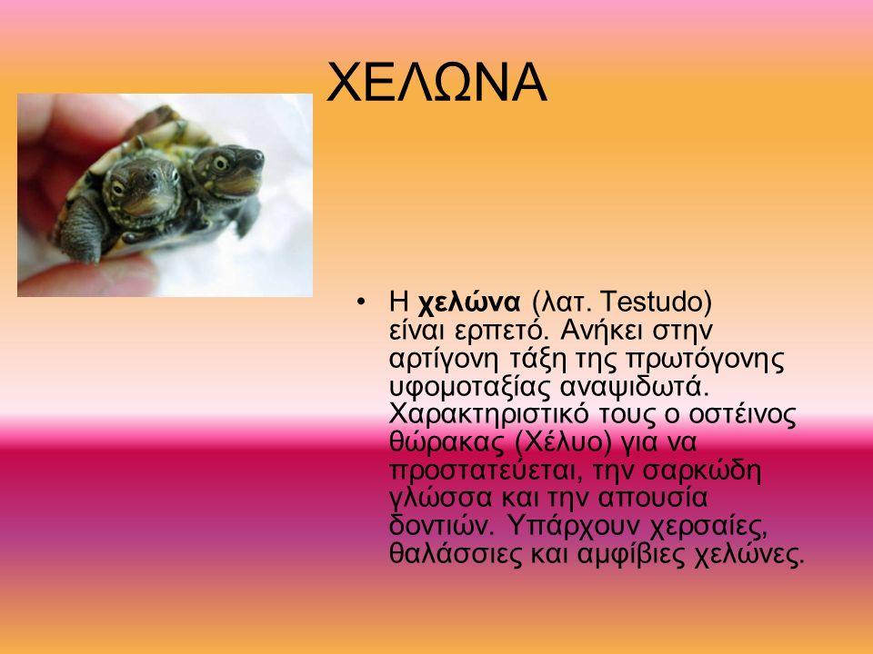 ΧΕΛΩΝΑ Η χελώνα (λατ. Testudo) είναι ερπετό. Ανήκει στην αρτίγονη τάξη της πρωτόγονης υφομοταξίας αναψιδωτά. Χαρακτηριστικό τους ο οστέινος θώρακας (Χ