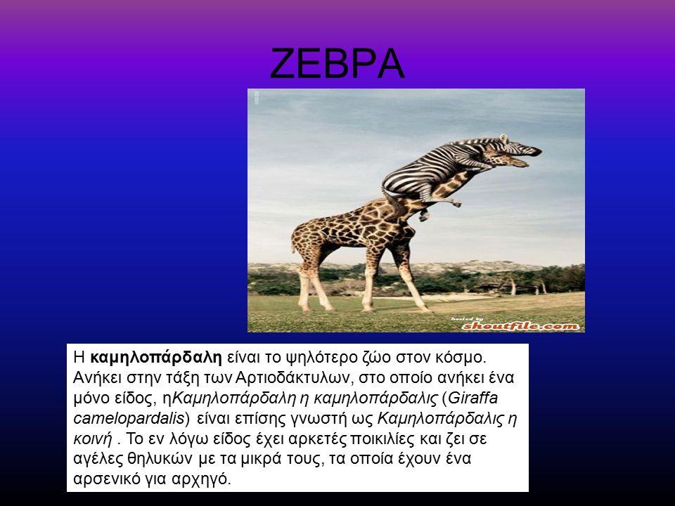 ΖΕΒΡΑ Η καμηλοπάρδαλη είναι το ψηλότερο ζώο στον κόσμο. Ανήκει στην τάξη των Αρτιοδάκτυλων, στο οποίο ανήκει ένα μόνο είδος, ηΚαμηλοπάρδαλη η καμηλοπά