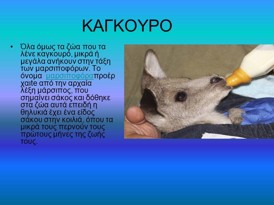ΚΑΓΚΟΥΡΟ Όλα όμως τα ζώα που τα λένε καγκουρό, μικρά ή μεγάλα ανήκουν στην τάξη των μαρσιποφόρων. Το όνομα μαρσιποφόραπροέρ χαιte από την αρχαία λέξη