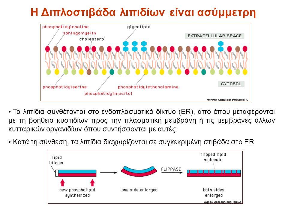 Τα λιπίδια συνθέτονται στο ενδοπλασματικό δίκτυο (ER), από όπου μεταφέρονται με τη βοήθεια κυστιδίων προς την πλασματική μεμβράνη ή τις μεμβράνες άλλων κυτταρικών οργανιδίων όπου συντήσσονται με αυτές.