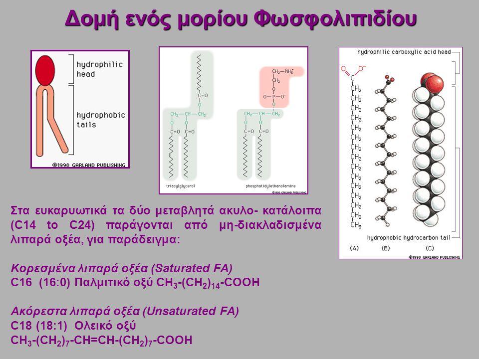 Στα ευκαρυωτικά τα δύο μεταβλητά ακυλο- κατάλοιπα (C14 to C24) παράγονται από μη-διακλαδισμένα λιπαρά οξέα, για παράδειγμα: Κορεσμένα λιπαρά οξέα (Saturated FA) C16 (16:0) Παλμιτικό οξύ CH 3 -(CH 2 ) 14 -COOH Ακόρεστα λιπαρά οξέα (Unsaturated FA) C18 (18:1) Ολεικό οξύ CH 3 -(CH 2 ) 7 -CH=CH-(CH 2 ) 7 -COOH Δομή ενός μορίου Φωσφολιπιδίου