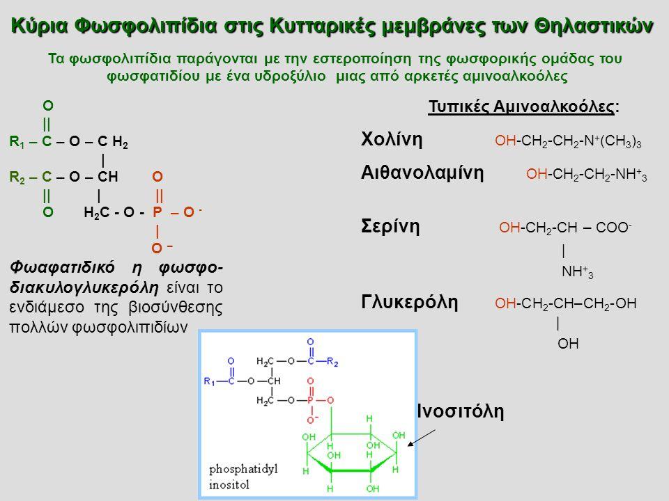 O || R 1 – C – O – C H 2 | R 2 – C – O – CH O || | || O H 2 C - O - P – O - | O – Φωαφατιδικό η φωσφο- διακυλογλυκερόλη είναι το ενδιάμεσο της βιοσύνθεσης πολλών φωσφολιπιδίων Τυπικές Αμινοαλκοόλες: Χολίνη OH-CH 2 -CH 2 -N + (CH 3 ) 3 Αιθανολαμίνη OH-CH 2 -CH 2 -NH + 3 Σερίνη OH-CH 2 -CH – COO - | NH + 3 Γλυκερόλη OH-CH 2 -CH–CH 2 -OH | OH Ινοσιτόλη Κύρια Φωσφολιπίδια στις Κυτταρικές μεμβράνες των Θηλαστικών Τα φωσφολιπίδια παράγονται με την εστεροποίηση της φωσφορικής ομάδας του φωσφατιδίου με ένα υδροξύλιο μιας από αρκετές αμινοαλκοόλες