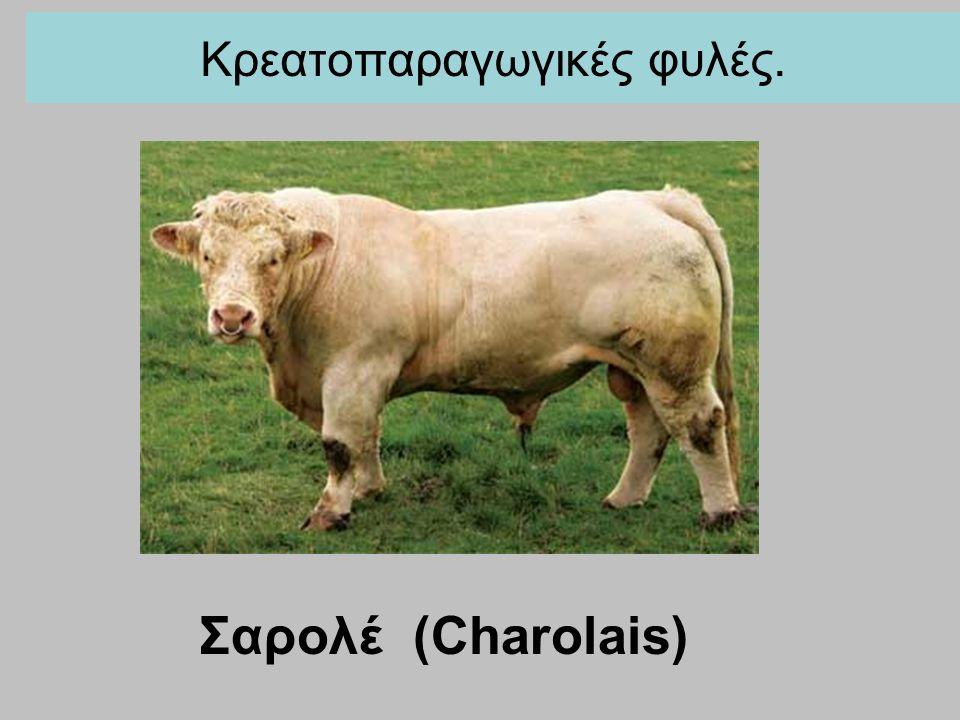 Κρεατοπαραγωγικές φυλές. Σαρολέ (Charolais)
