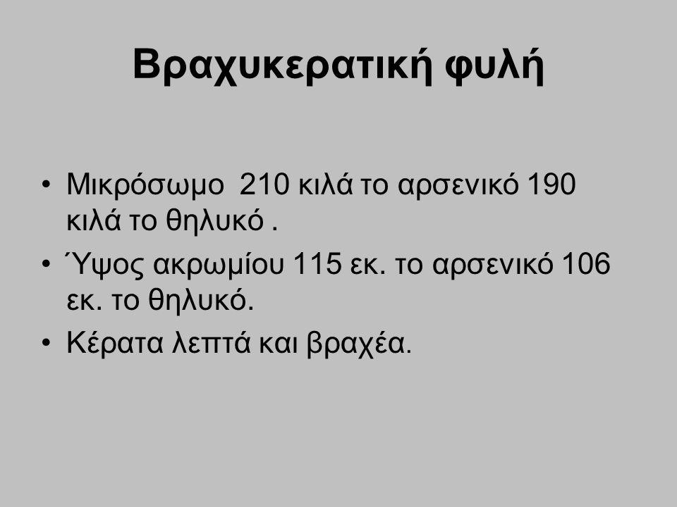 Βραχυκερατική φυλή Μικρόσωμο 210 κιλά το αρσενικό 190 κιλά το θηλυκό. Ύψος ακρωμίου 115 εκ. το αρσενικό 106 εκ. το θηλυκό. Κέρατα λεπτά και βραχέα.