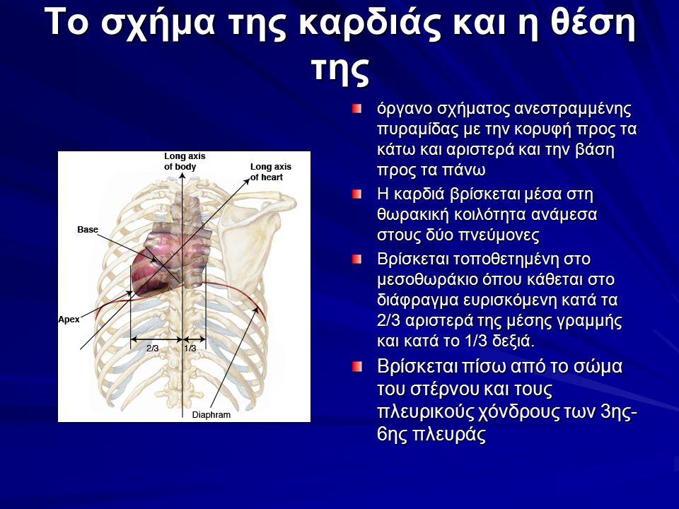 Το σχήμα της καρδιάς και η θέση της όργανο σχήματος ανεστραμμένης πυραμίδας με την κορυφή προς τα κάτω και αριστερά και την βάση προς τα πάνω Η καρδιά βρίσκεται μέσα στη θωρακική κοιλότητα ανάμεσα στους δύο πνεύμονες Βρίσκεται τοποθετημένη στο μεσοθωράκιο όπου κάθεται στο διάφραγμα ευρισκόμενη κατά τα 2/3 αριστερά της μέσης γραμμής και κατά το 1/3 δεξιά.
