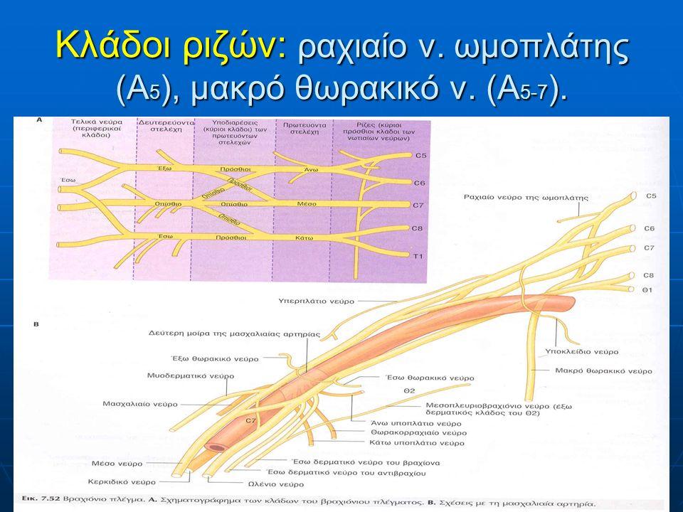Κλάδοι ριζών: ραχιαίο ν. ωμοπλάτης (Α 5 ), μακρό θωρακικό ν. (Α 5-7 ).