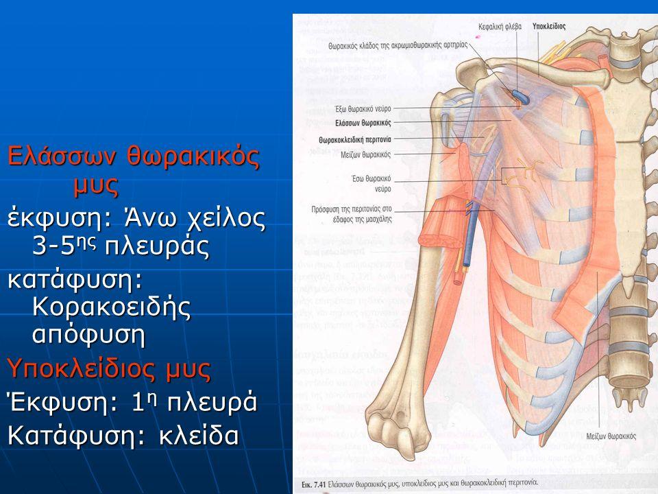 Ελ άσσων θωρακικός μυς έκφυση: Άνω χείλος 3-5 ης πλευράς κατάφυση: Κορακοειδής απόφυση Υποκλείδιος μυς Έκφυση: 1 η πλευρά Κατάφυση: κλείδα