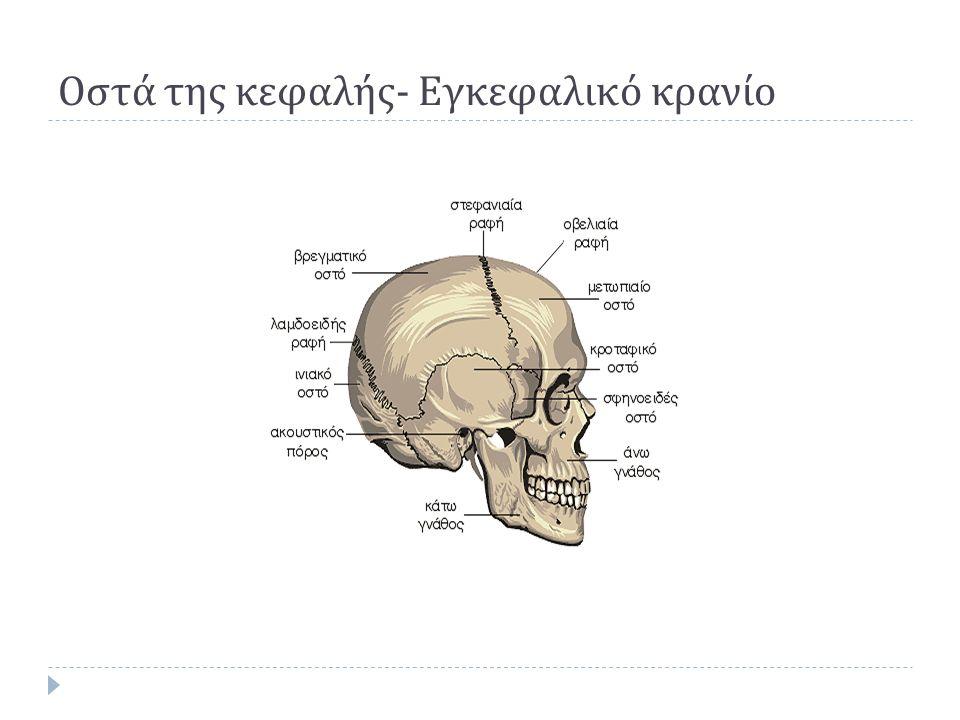 Οστά της κεφαλής - Εγκεφαλικό κρανίο