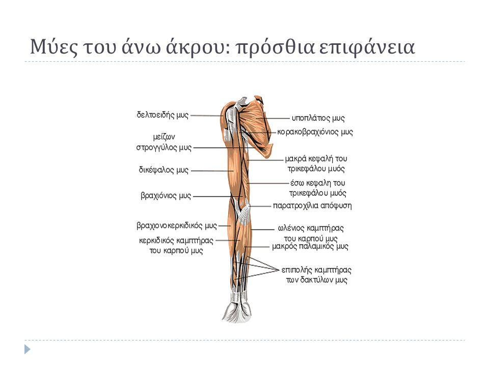 Μύες του άνω άκρου : πρόσθια επιφάνεια