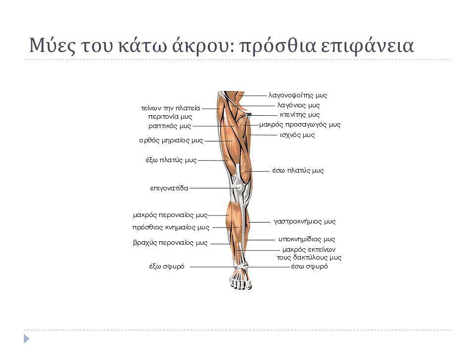 Μύες του κάτω άκρου : πρόσθια επιφάνεια