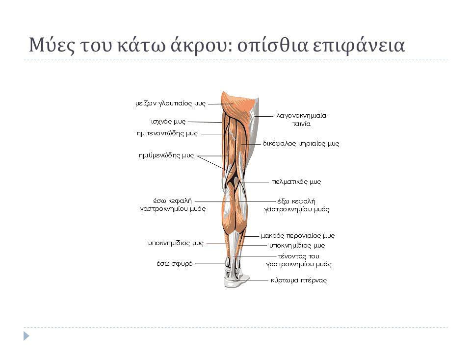 Μύες του κάτω άκρου : οπίσθια επιφάνεια