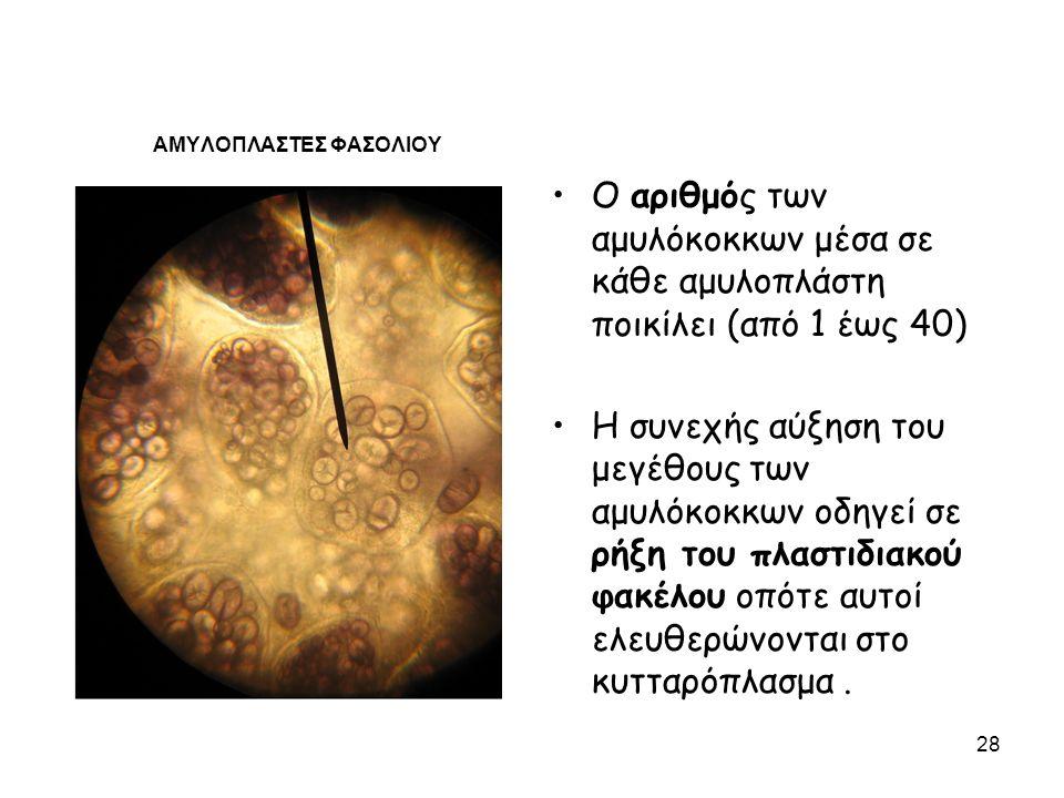 ΑΜΥΛΟΠΛΑΣΤΕΣ ΦΑΣΟΛΙΟΥ Ο αριθμός των αμυλόκοκκων μέσα σε κάθε αμυλοπλάστη ποικίλει (από 1 έως 40) Η συνεχής αύξηση του μεγέθους των αμυλόκοκκων οδηγεί σε ρήξη του πλαστιδιακού φακέλου οπότε αυτοί ελευθερώνονται στο κυτταρόπλασμα.