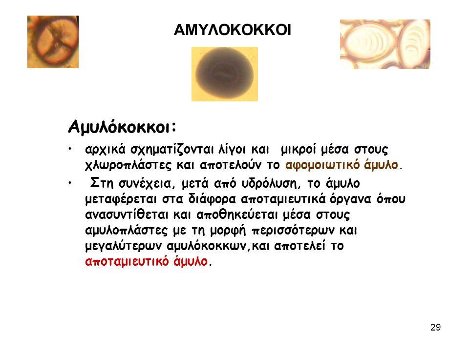 ΑΜΥΛΟΚΟΚΚΟΙ Αμυλόκοκκοι: αρχικά σχηματίζονται λίγοι και μικροί μέσα στους χλωροπλάστες και αποτελούν το αφομοιωτικό άμυλο.