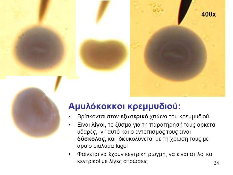 400x Αμυλόκοκκοι κρεμμυδιού: Βρίσκονται στον εξωτερικό χιτώνα του κρεμμυδιού Είναι λίγοι, το ξύσμα για τη παρατήρησή τους αρκετά υδαρές, γι' αυτό και ο εντοπισμός τους είναι δύσκολος, και διευκολύνεται με τη χρώση τους με αραιό διάλυμα lugol Φαίνεται να έχουν κεντρική ρωγμή, να είναι απλοί και κεντρικοί με λίγες στρώσεις 34