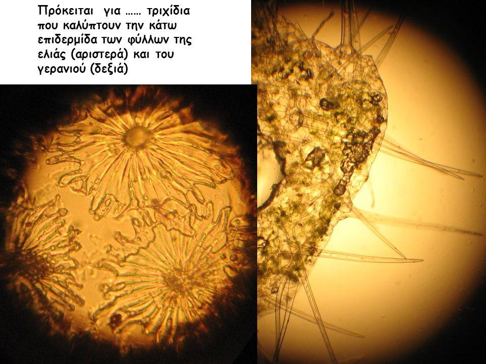 Πρόκειται για …… τριχίδια που καλύπτουν την κάτω επιδερμίδα των φύλλων της ελιάς (αριστερά) και του γερανιού (δεξιά) 7