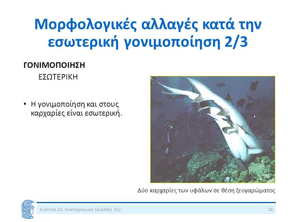 Μορφολογικές αλλαγές κατά την εσωτερική γονιμοποίηση 2/3 ΓΟΝΙΜΟΠΟΙΗΣΗ ΕΣΩΤΕΡΙΚΗ Η γονιμοποίηση και στους καρχαρίες είναι εσωτερική.