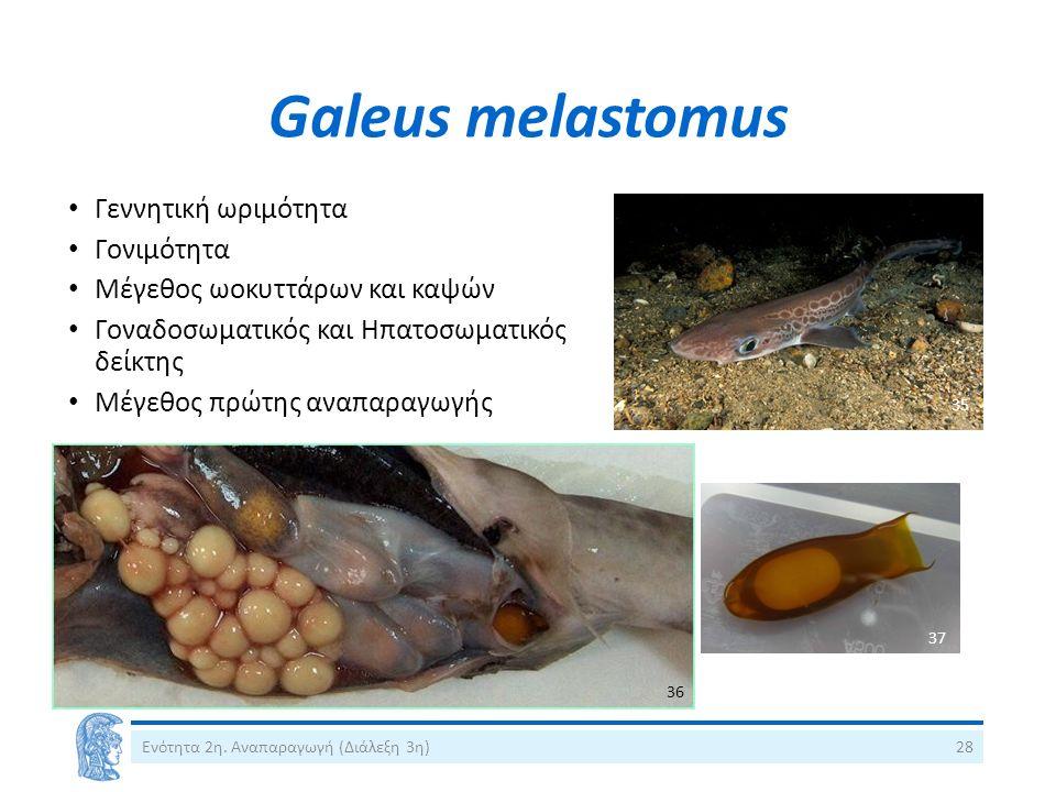 Galeus melastomus Ενότητα 2η.