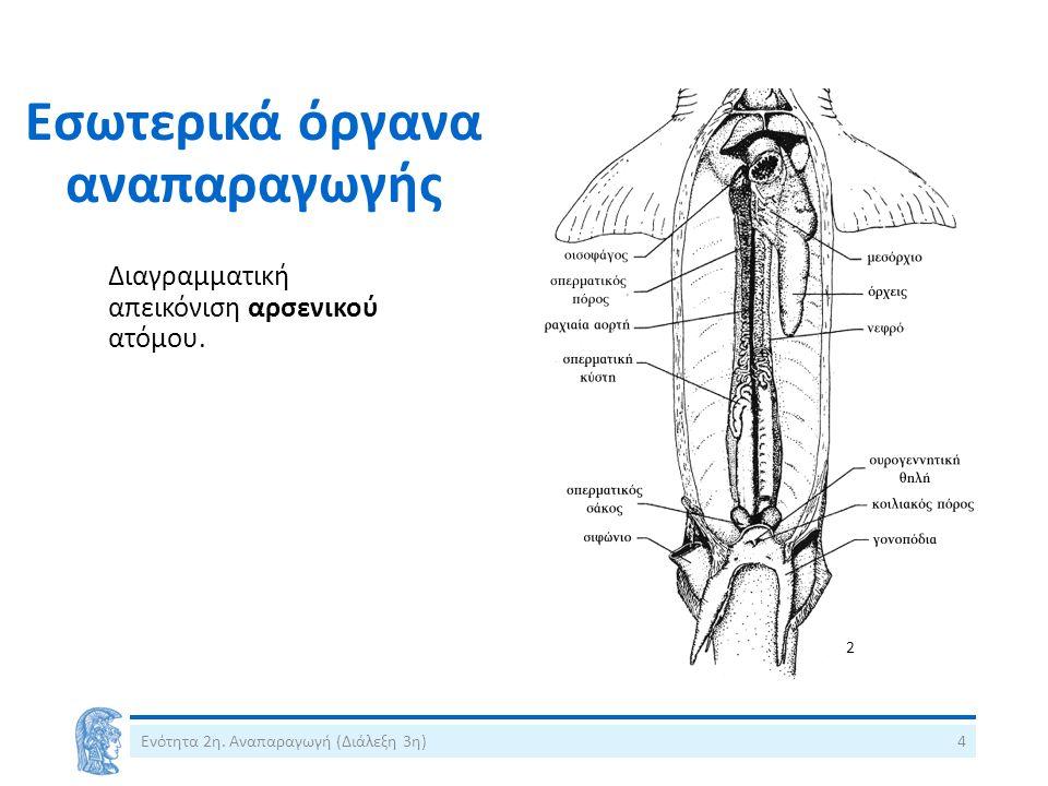Εσωτερικά όργανα αναπαραγωγής Διαγραμματική απεικόνιση αρσενικού ατόμου.